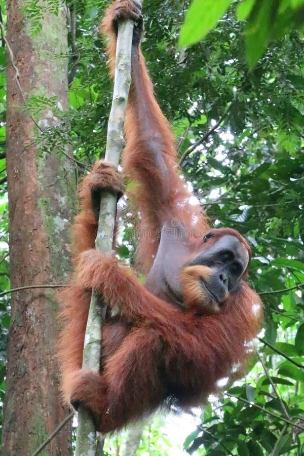 Orangutan Male climbing royalty free stock photo