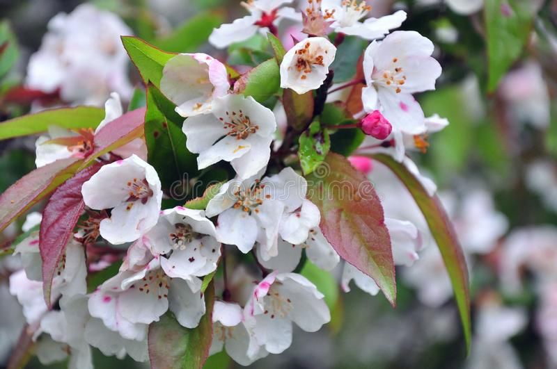 New England Apple Blossom in Springtime royalty free stock photo