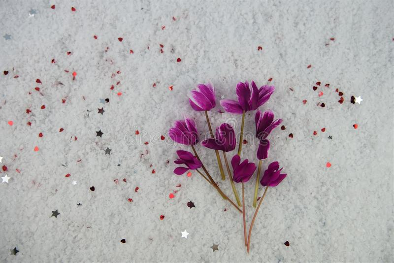 Winter season flower photography image with pink cyclamen blooms laid in snow and sprinkled with small silver color stars. Taken on South coast England UK from royalty free stock photo