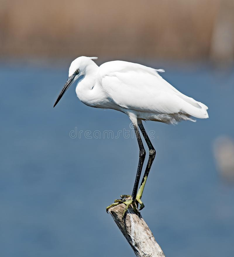 Little Egret at Reserve Palud, Croatia. stock photography