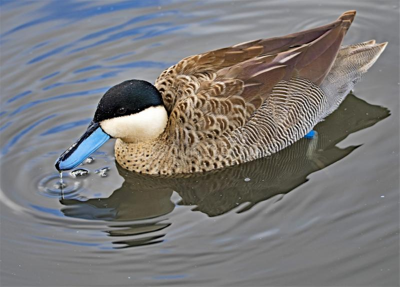 Puna teal, in North West wetlands. stock image
