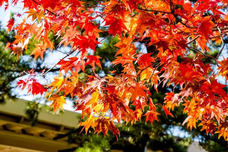 Taket för lönnträdet tillbaka grundar, lönnlöv vänder färg från gräsplan till orange och ljus rött för guling, takhusbakgrunden i royaltyfri fotografi