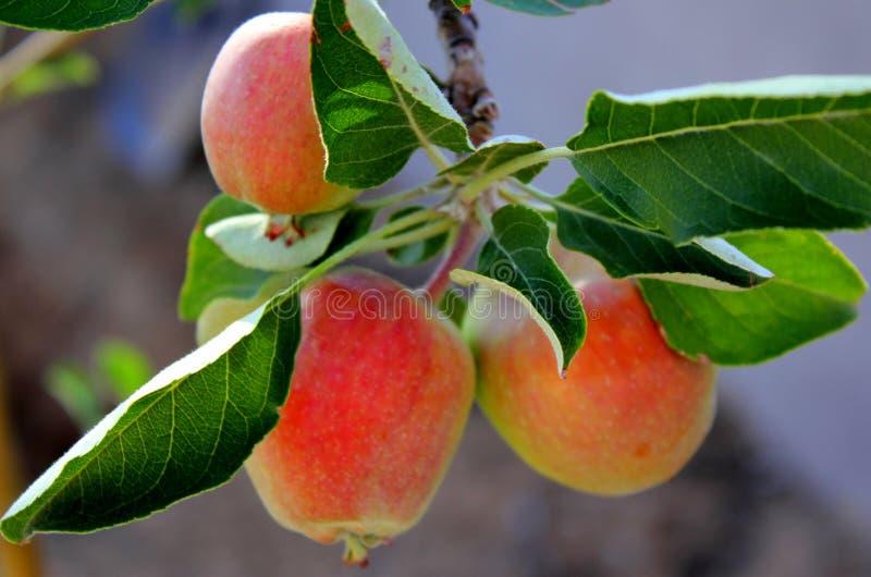 Takhoogtepunt van verse rode Anna Apples geschikt om in de woestijn te groeien stock afbeeldingen