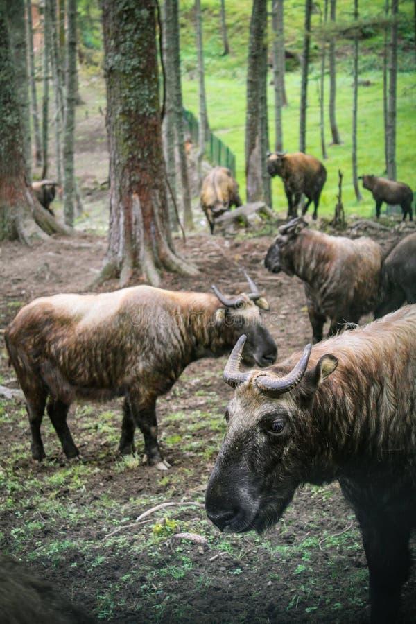 Takin det nationella djuret av Bhutan, i Motithang Mini Zoo arkivbilder