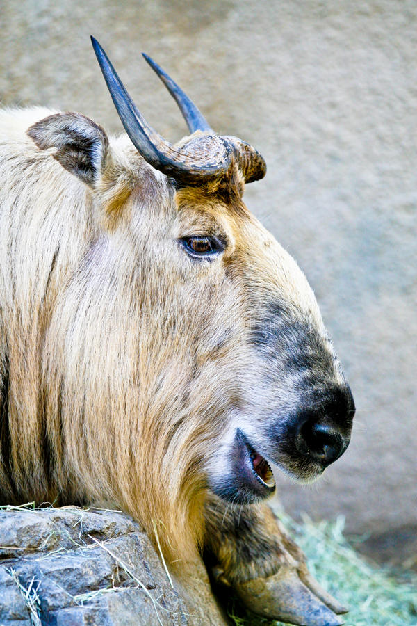 Free Takin Musk Ox From Tibet Royalty Free Stock Photos - 29741918