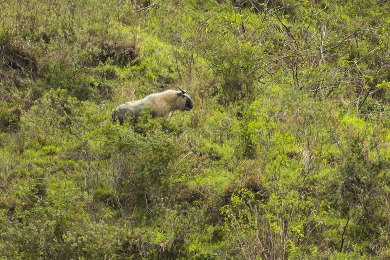 Takin salvaje en bosque chino imagenes de archivo