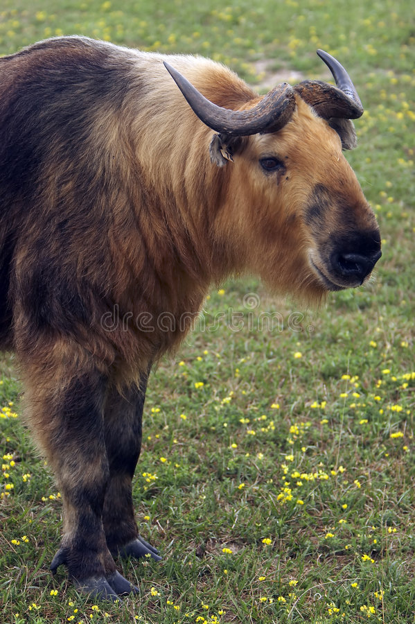 Takin (taxicolor de Budorcas) photos stock