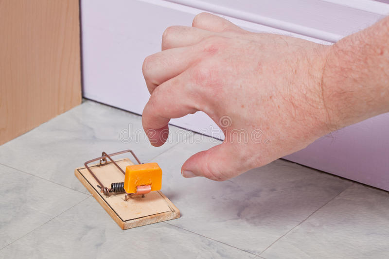 Taking the bait. A hand reaches down to try and take the cheese bait in a mouse trap stock images