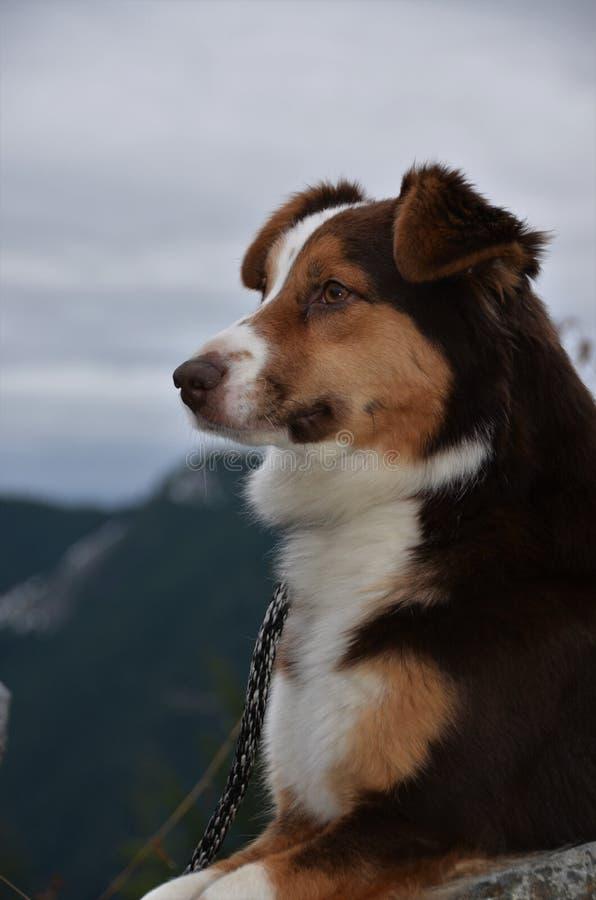 Red Tri Australian Shepherd hiking stock photo
