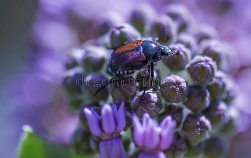 June Bug On A Flower. Taking a close look at the June bug through macro photography stock photo