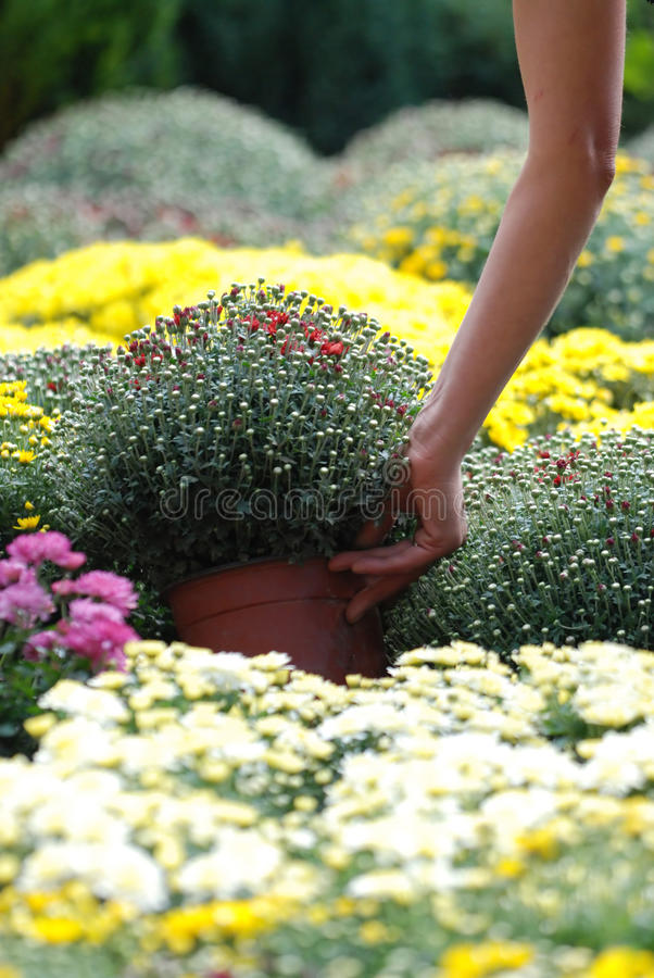 Taking flower pot from mass of flowers royalty free stock photo