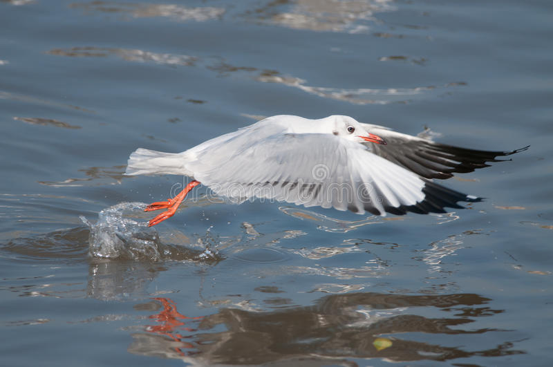 Taking off seagull stock image