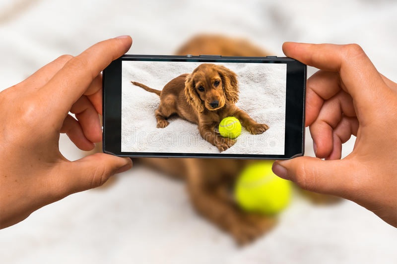 Taking photo of english cocker spaniel with mobile phone. Woman hands with mobile cell phone to take a photo of english cocker spaniel puppy with yellow tennis royalty free stock photo
