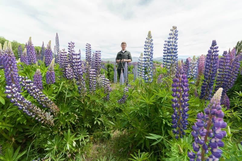Taking photo of New Zealand Lupins stock image