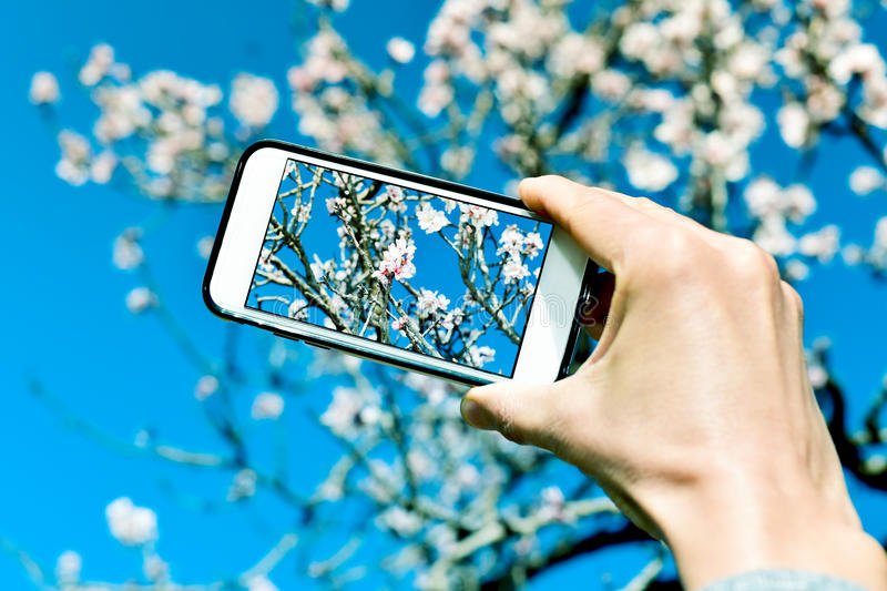Taking a picture of an almond tree in full bloom. Closeup of a young caucasian man taking a picture of an almond tree in full bloom with his smartphone stock photography