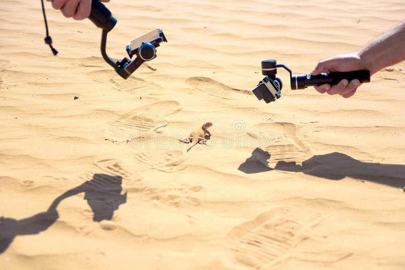 Taking picture of Spotted toad-headed Agama royalty free stock image