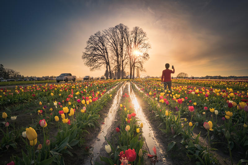 Taking sunset pictures using a mobile phone. This is a photograph of a man taking sunset pictures in a tulip field royalty free stock images