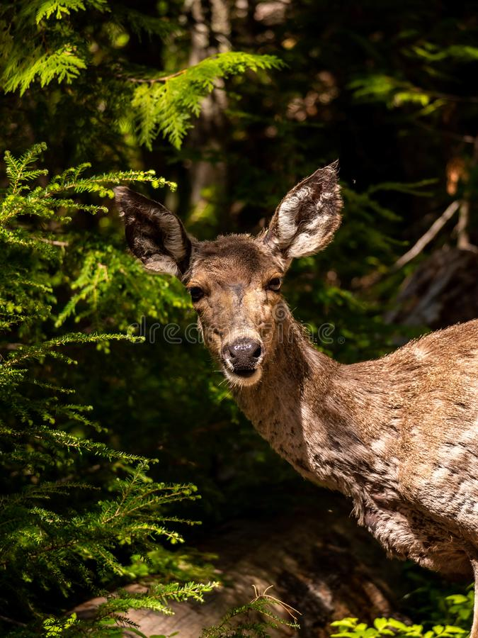 Taking Timeout to Give the Camera a Little Face Time. A young female deer seems to not mind the camera on Sperry Trail in Glacier National Park, Montana on a stock photos