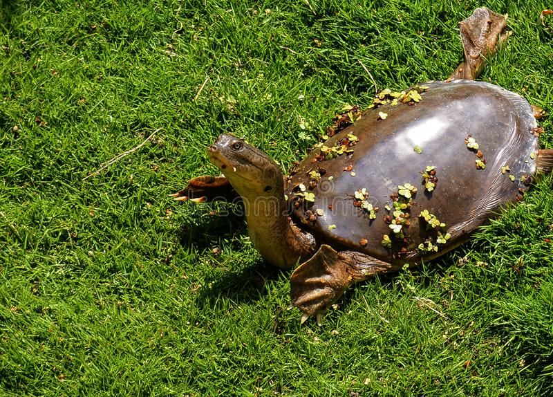 Taking a walk in the sun. Here& x27;s a turtle relaxing on the grass stock photo