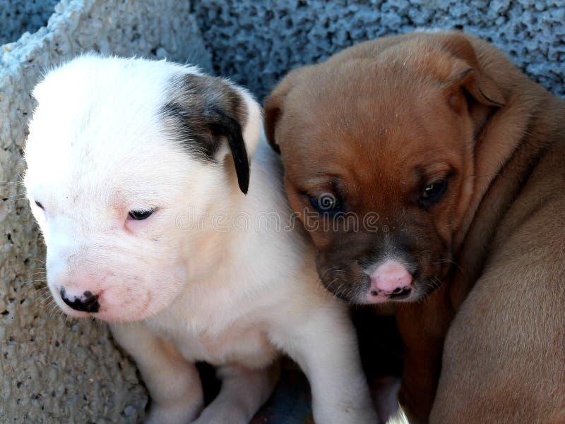 Takishi x Nina puppies royalty free stock photography