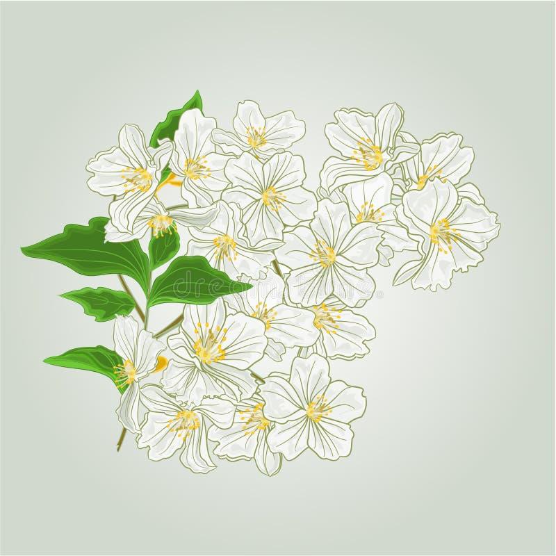 Takje van jasmijnbloesems van de lentevector stock illustratie