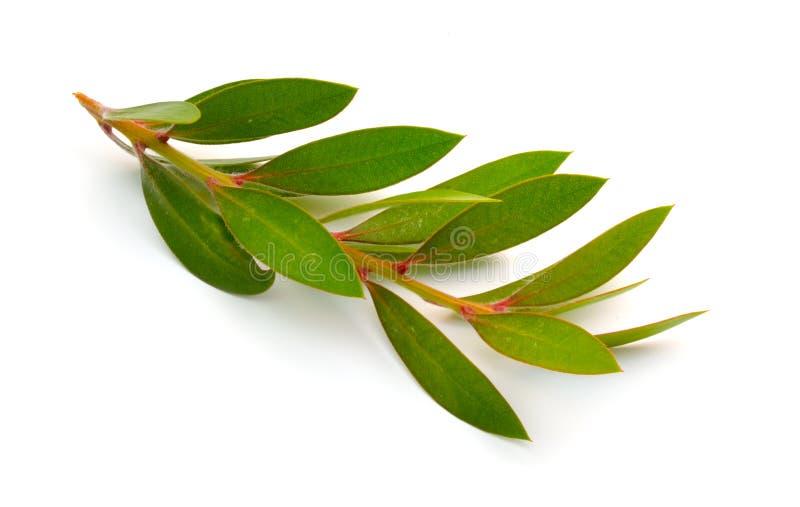 Takje van Melaleuca, paperbarks, honing-mirte of thee-boom, bottlebrush Ge?soleerdj op witte achtergrond stock foto's