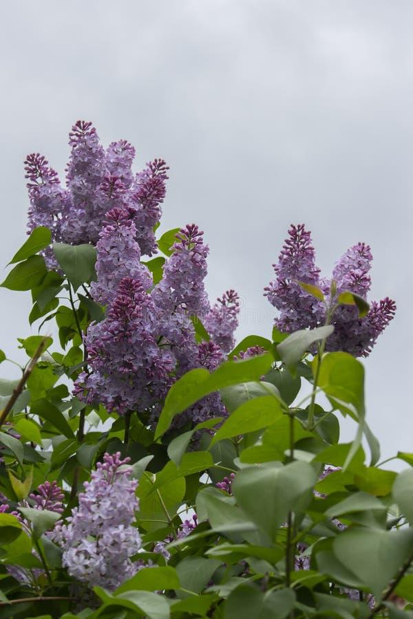 Takjes van lilac purpere sering tegen de hemel Weelderige bloeiende lilac struik, de bladeren van bloeiwijzebloemblaadjes royalty-vrije stock afbeeldingen