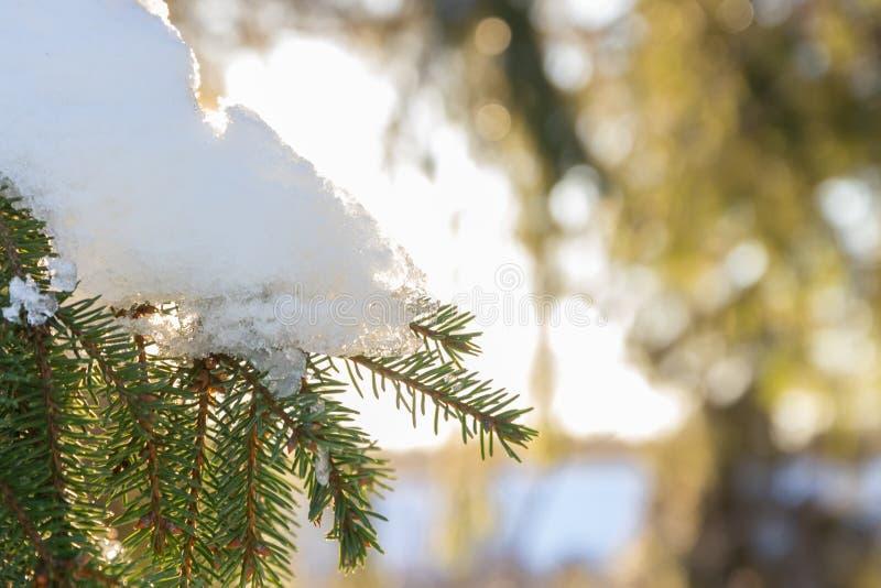 Takken en naalden van sparren met sneeuw in het de winterbos worden behandeld in Finland dat royalty-vrije stock foto