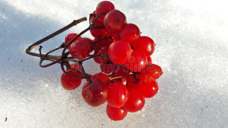 Takken met rode bessen onder sneeuw Selectieve nadruk Rode die bessen met sneeuw bij de winter worden behandeld stock foto