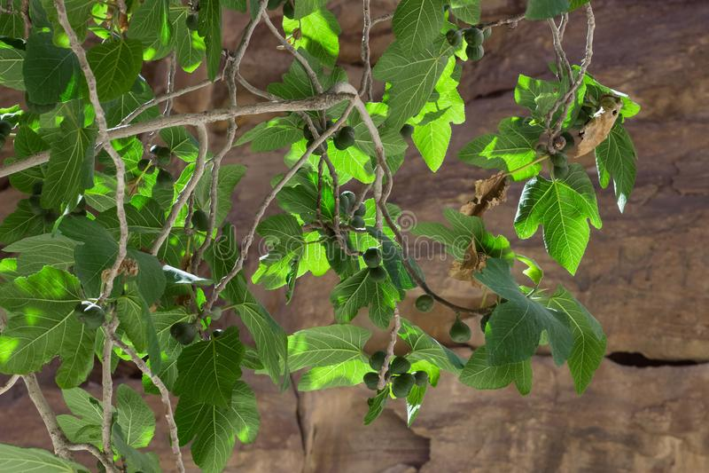 Takken met vruchten van groene fig. stock foto
