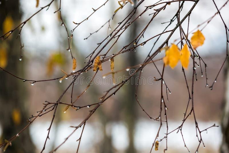 Takken van berk met oorringen in regendruppels in de recente herfst royalty-vrije stock afbeelding