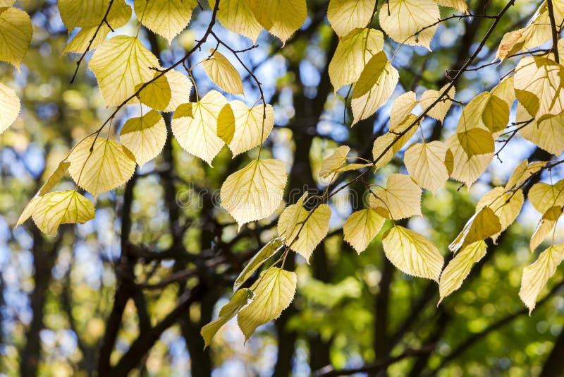 Takken van beukboom met gouden en geel herfstgebladerte stock afbeelding