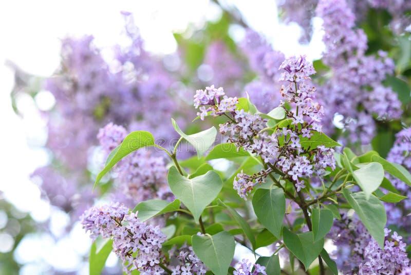 Takken van bloeiende sering, vulgaris Syringa stock foto