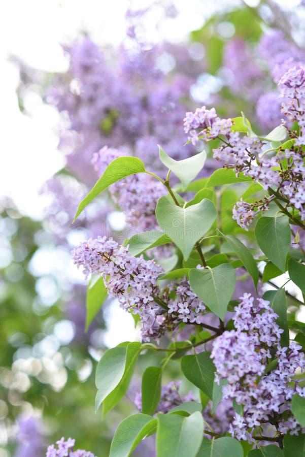 Takken van bloeiende sering, vulgaris Syringa royalty-vrije stock foto's