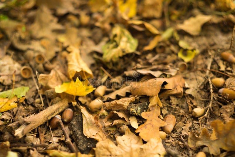 Takken van de de eikelsboom van de herfst de bos gevallen bladeren royalty-vrije stock afbeeldingen