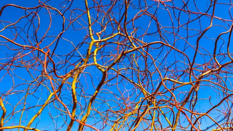 Takken van de kurketrekker de gouden wilg tegen blauwe hemel in de winter zonnige dag Salixmatsudana Natuurlijke achtergrond royalty-vrije stock fotografie