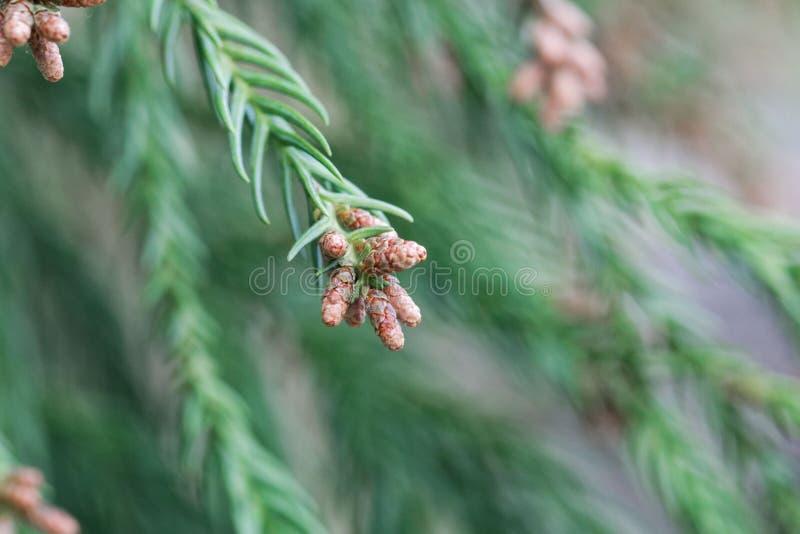 Takken van een Japanse japonica van rood-cedercryptomeria royalty-vrije stock afbeeldingen