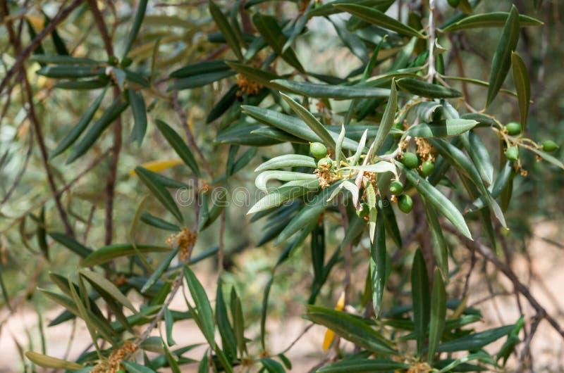 Takken van een olijfboom stock foto's