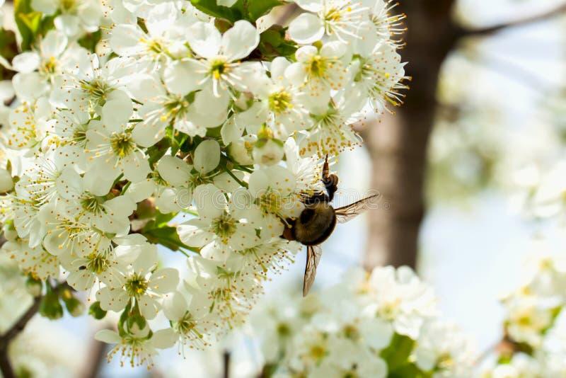 Takken van een witte bloeiende kers tegen de blauwe hemel Hommel op bloem stock foto