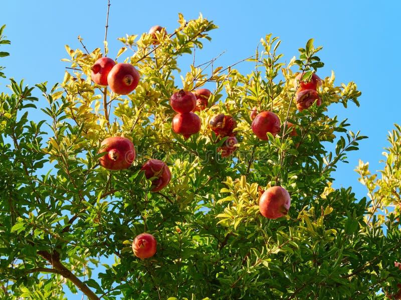 Takken van granaatappelboom & x28; punica granatum & x29; hoogtepunt van rijpe vruchten in een zonnige dag stock fotografie