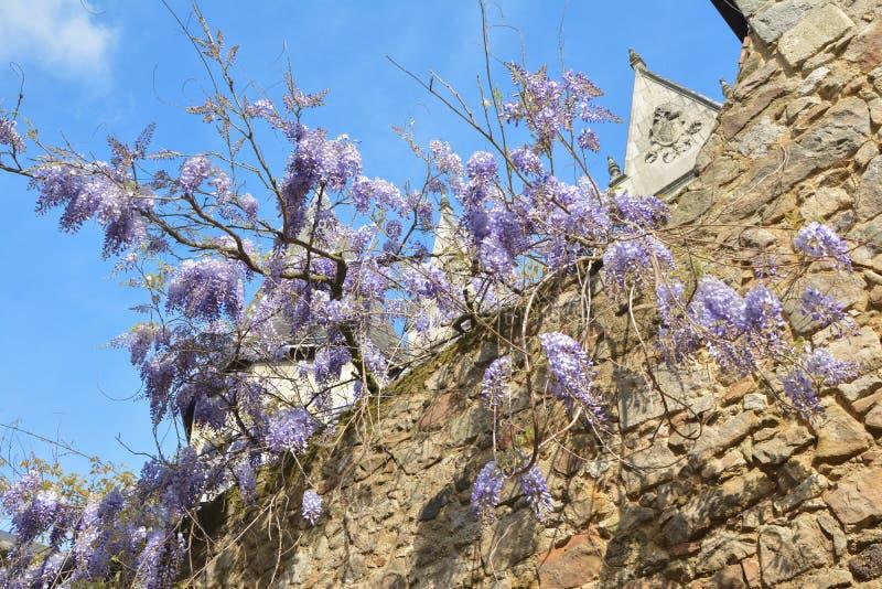 Takken van het purpere wisteria hangen van een muur stock afbeelding