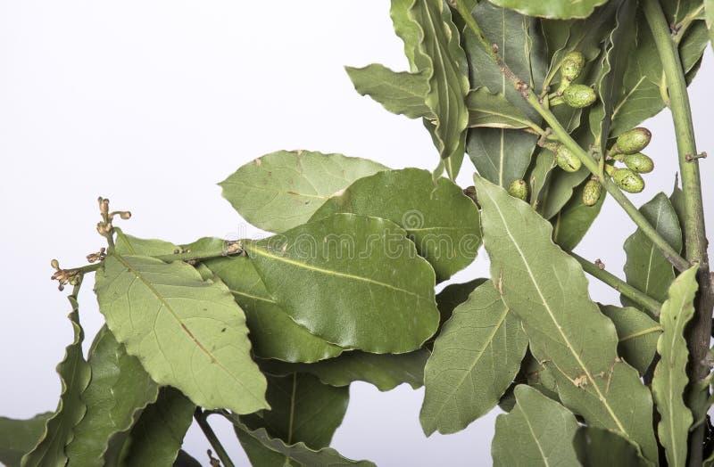 Takken van laurierboom met groene bladeren royalty-vrije stock fotografie