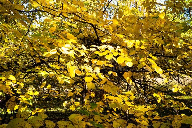 takken van lindeboom met gele bladeren royalty-vrije stock afbeelding