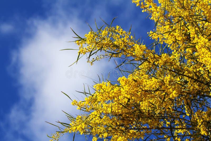 Takken van mimosa in volledige bloei in de heldere zonneschijn op de blauwe hemel van de lente stock foto