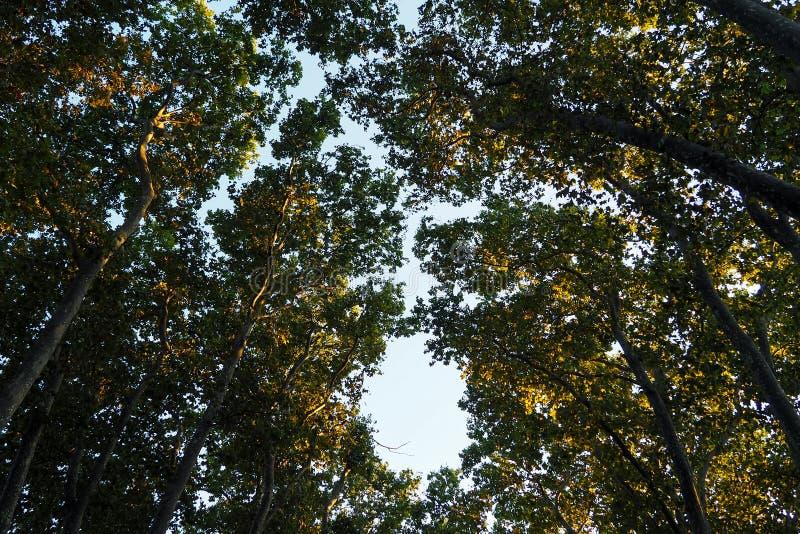 Takken van sycomoorboom tegen hemel op een de zomerdag stock foto's