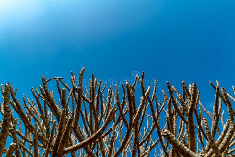 Takken van tempelbomen op de duidelijke blauwe hemelachtergrond stock foto