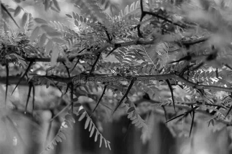 Takken van wilde acacia met jonge bladeren Het schieten op oogniveau Selectieve nadruk zwart-wit royalty-vrije stock foto's