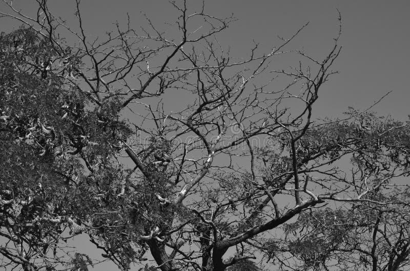 Takken van wilde acacia op de achtergrond van de de zomer hete hemel Zwart-witte achtergrond royalty-vrije stock afbeeldingen