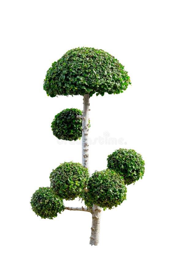 Takobomen het buigen Geïsoleerde boom op wit stock foto