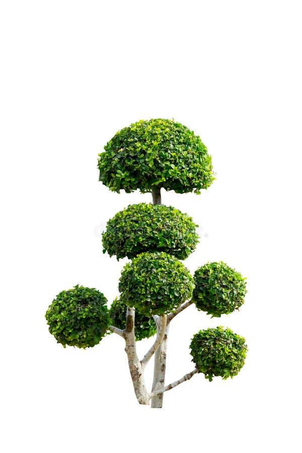 Takobomen het buigen Geïsoleerde boom op wit stock afbeeldingen